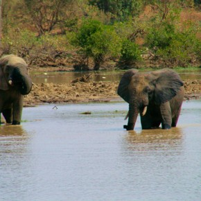 2009-01-18 Burkina Faso, Nazinga Nature Preserve, elephants in the river