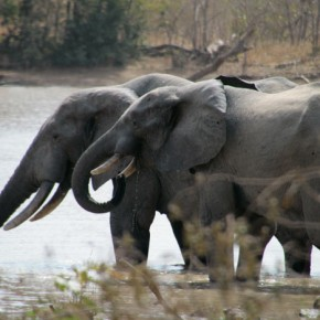2009-01-18 Burkina Faso, Nazinga, two elephants in the water socialize while they wait for a young one to join them