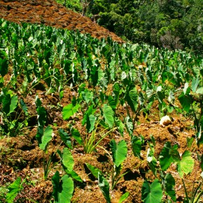 2009 03 23 Dominica taro and yam fields (12)