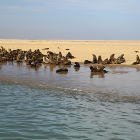 2011-03-29 Namibia, Walvis Bay, we went out into the bay almost to the Ocean and there was this lively colony of Cape Fur Seals