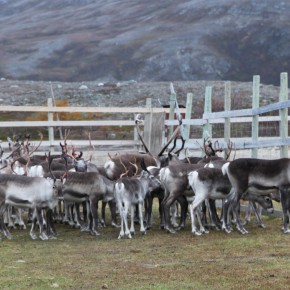 2011-09-18 Norway Karasjok Sami, country reindeer herd. The females and males younger than a year are kept in the herd.