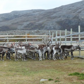 2011-09-18 Norway Karasjok Sami country, reindeer mixed herd which will be separated for winter
