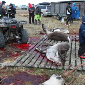 2011-09-18 Norway Karasjok Sami, reindeer butcher site where the kill the animals then take them home to cut up and sell