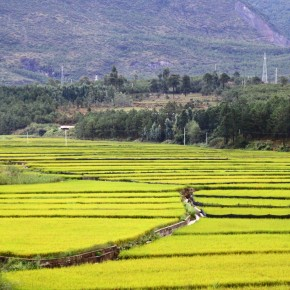 2011-09-22 Lijiang agriculture rice paddies
