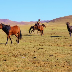 2011-09-22 Mongolia Ulan Bator - The herder was lassoing his ponies and they are intent on evading him.