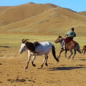 2011-09-22 Mongolia Ulan Bator - herder finally lassoed one of the ponies while the other disperse quickly to avoid him.