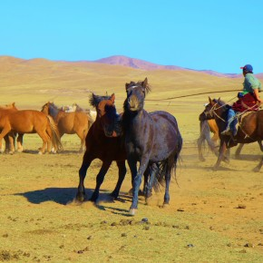 2011-09-22 Mongolia Ulan Bator - nomadic herder gathering his ponies who are evading him.