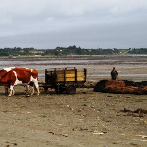 Chile, Chiloé Island, Ancud 2008-11-13 -The seaweed is hauled in bullock carts