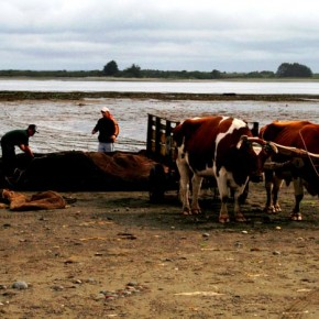 Chile, Chiloé Island, Ancud 2008-11-13 - the men rake the seaweed into piles and cover them with a netting then come back and pick them up with the bullock carts