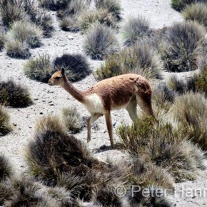 Chile, Lauca 2008-11-05 - a Vicuna in the desert by Peter Hanneberg