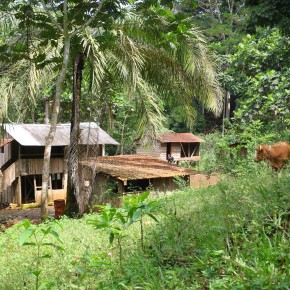 2011-04-05 Sao Tome and Principe - farm with palms, pigs, and African small cattle which can be seen on the right