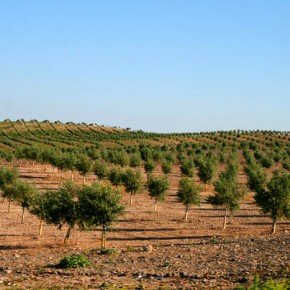 Andalucians are planting new olive groves to supply increased demands for olive oil