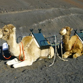 Camels were imported to Lanzarote by Spaniards to work in agriculture